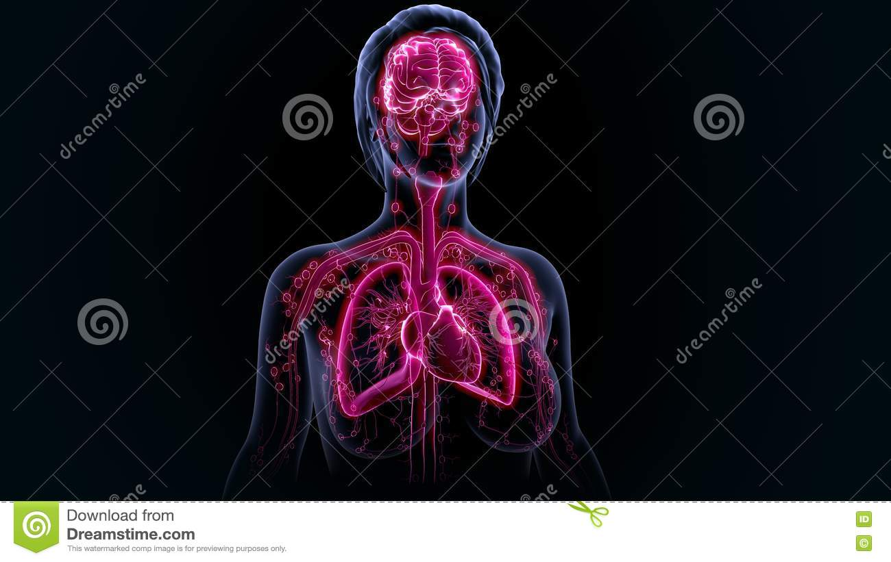 Human Organs Stock Image Image Of Lungs Glands Brain 75373033