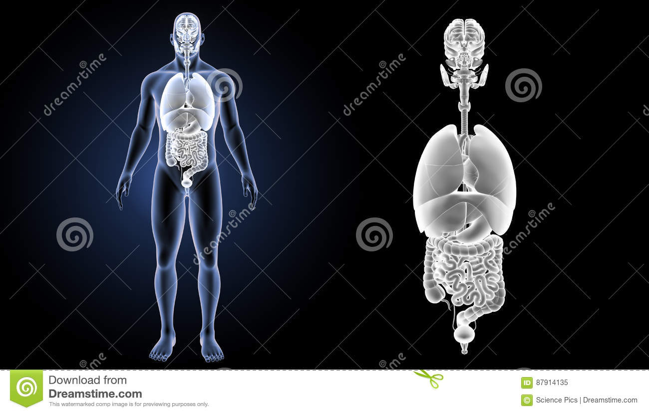 Human organs zoom with body anterior view