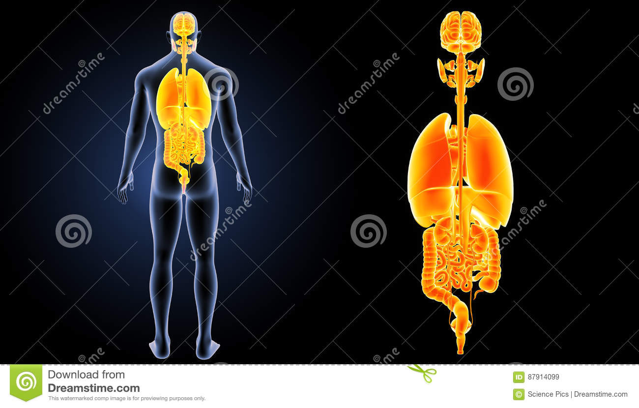 Human organs zoom with body posterior view