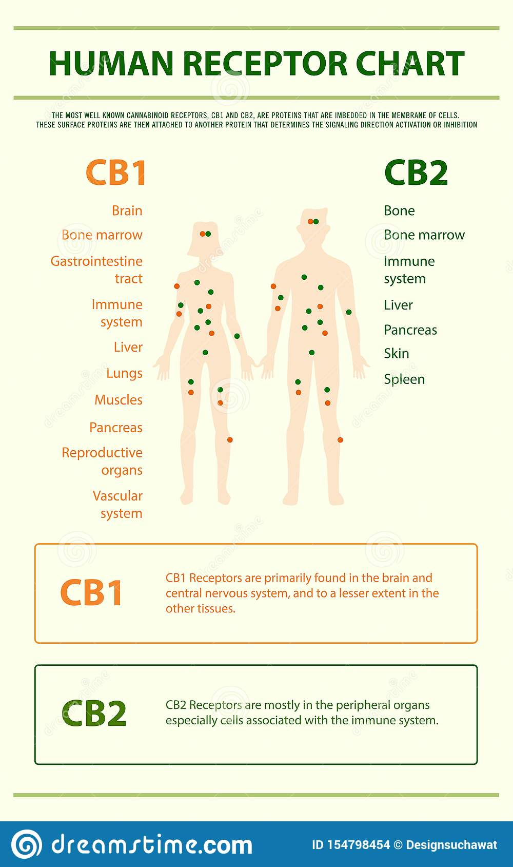 Human receptor chart vertical infographic
