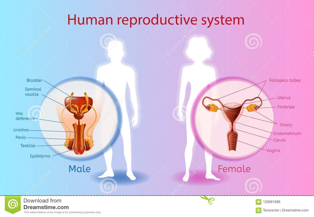 Human Reproductive System Vector Scientific Chart Stock Vector ...