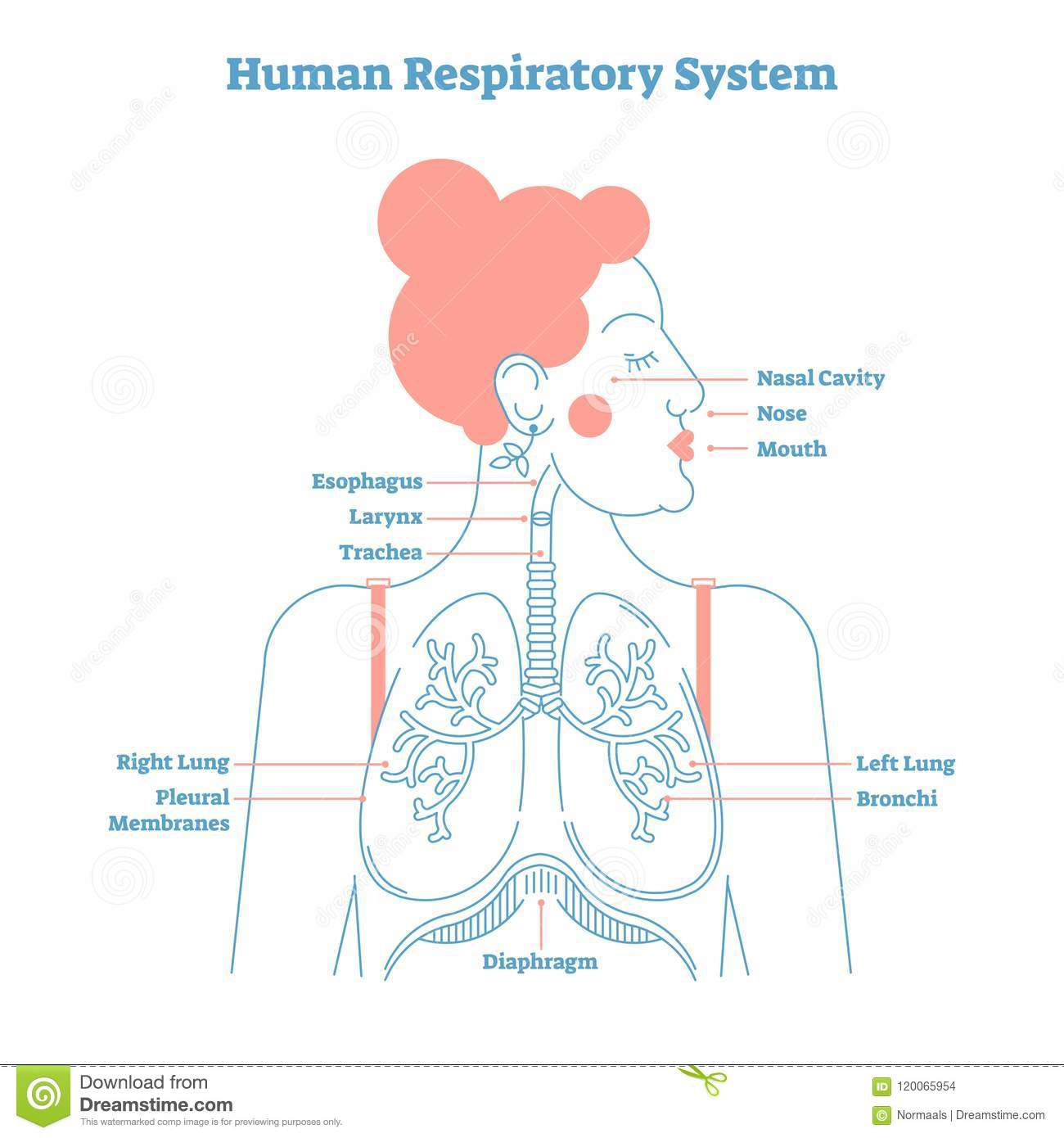 Human respiratory system anatomical line style artistic vector human respiratory system anatomical line style artistic vector illustration medical education cross section diagram ccuart
