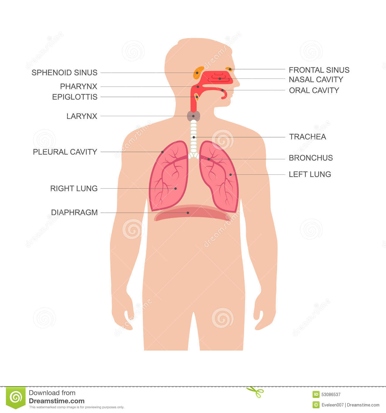 Human Respiratory System Anatomy Stock Vector Illustration Of
