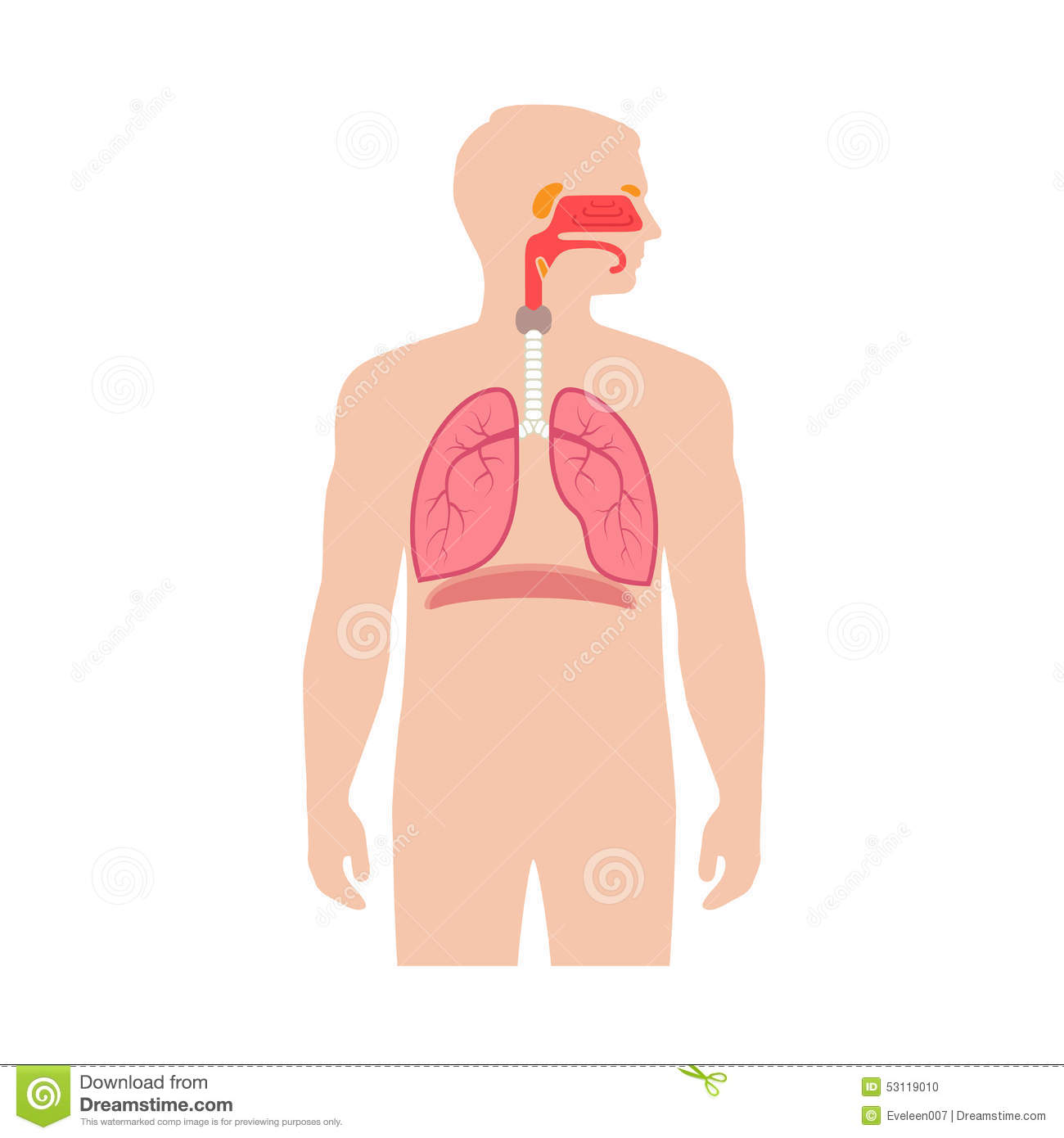 Human respiratory system anatomy, vector medical nose illustration.