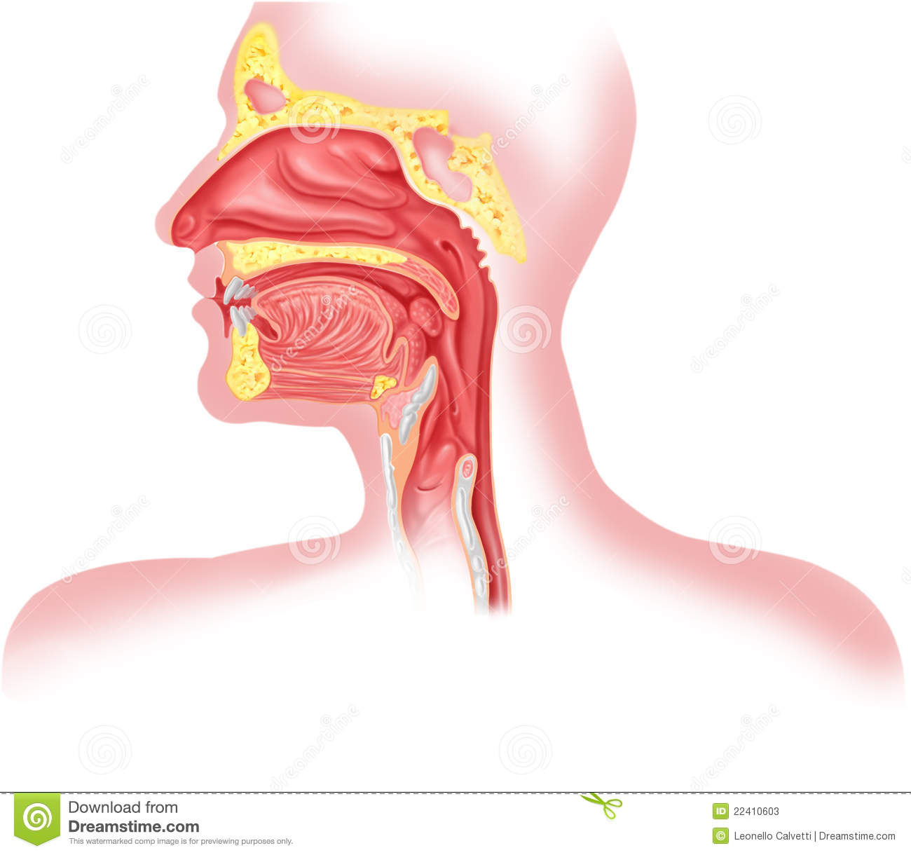 Human respiratory system cross section head part stock human respiratory system cross section head part pooptronica