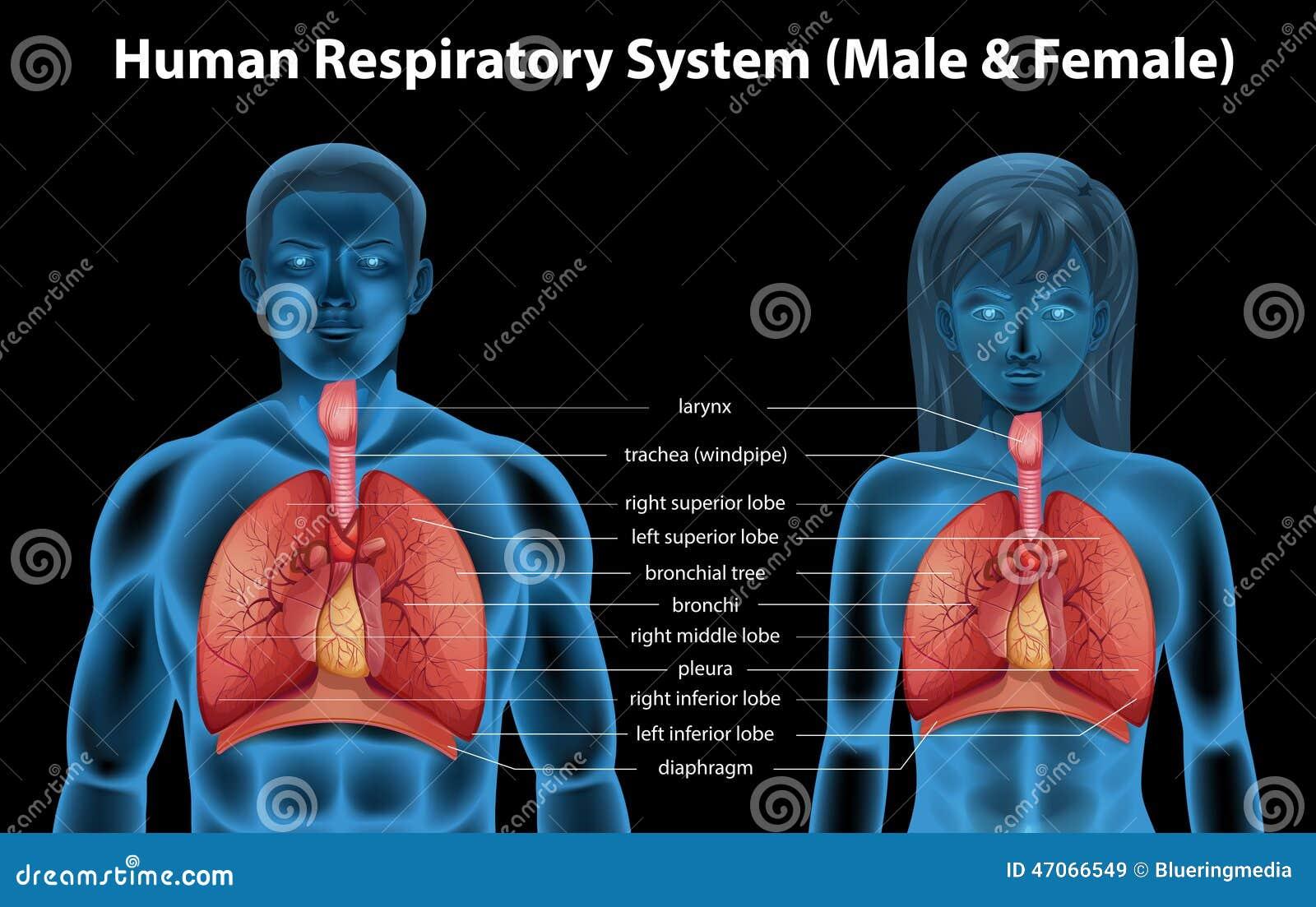 Human Respiratory System Stock Vector Illustration Of Bronchial