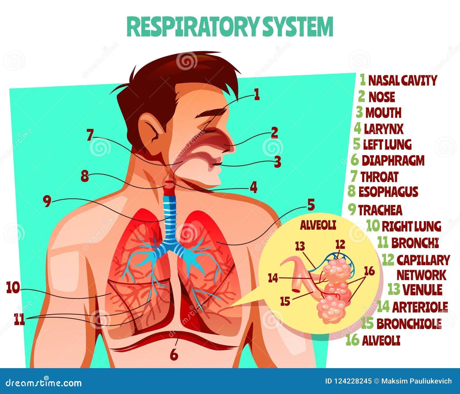 Human Respiratory System Vector Illustration Stock Vector