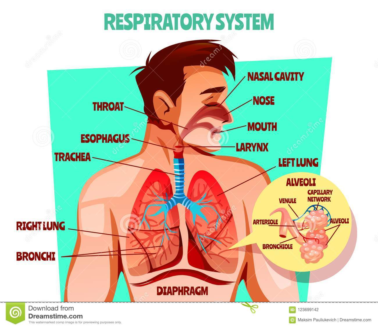 Human Respiratory System Vector Illustration Stock Vector