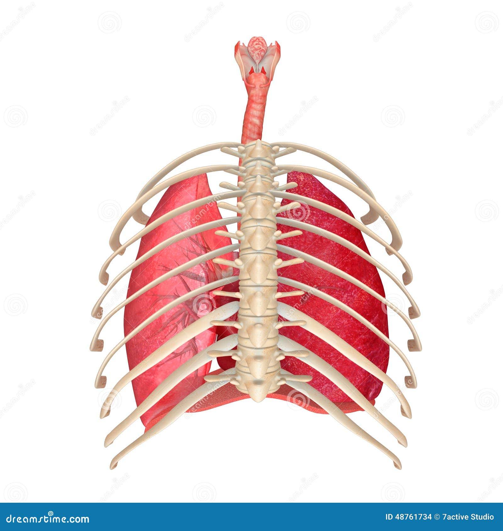 human respiratory system pdf free download