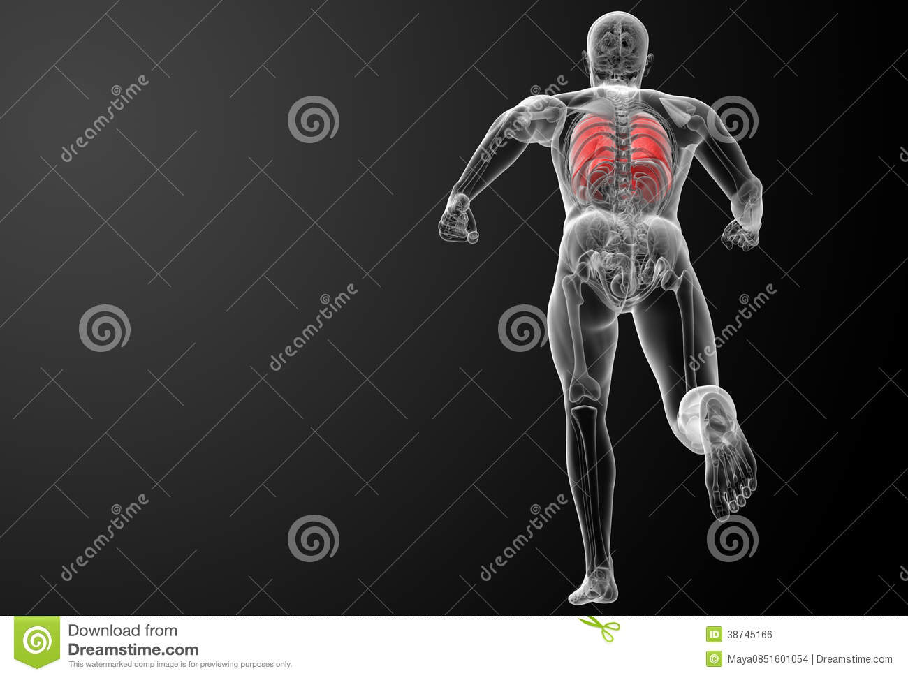 Human respiratory system in x ray lungs back view
