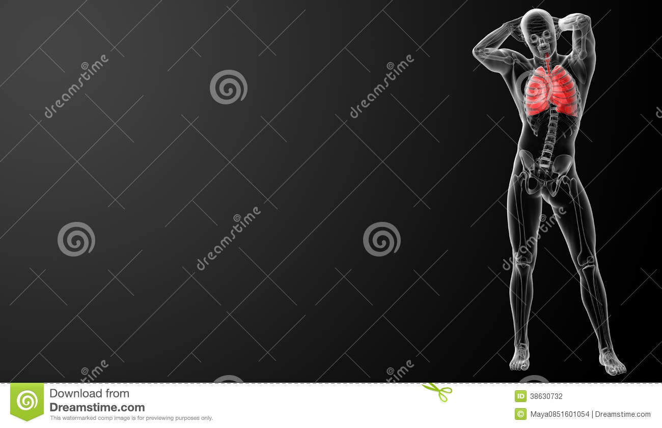 Stock photography human respiratory system in x ray view