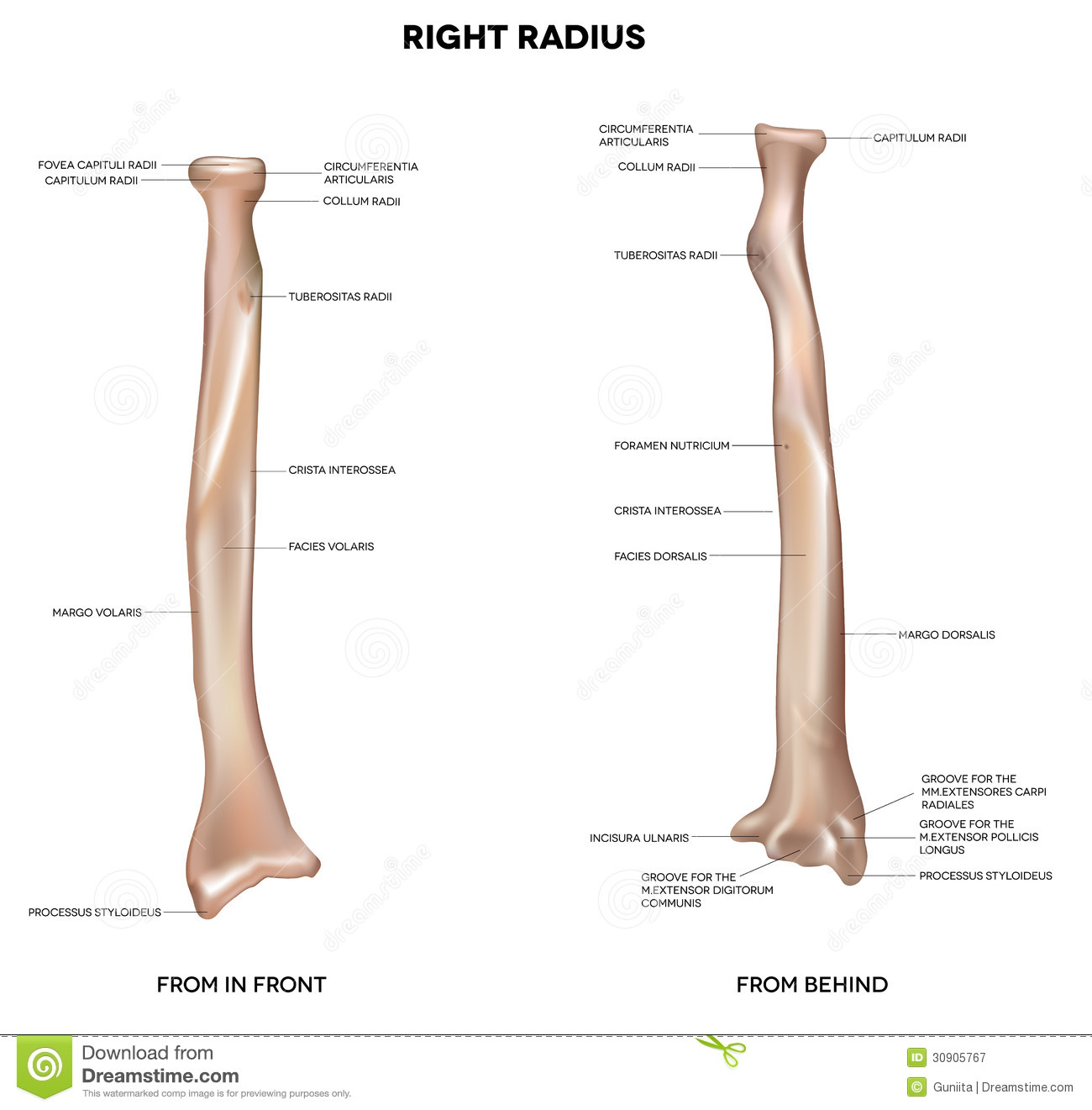 Radius. Human right radius, bone. Detailed medical illustration. Latin