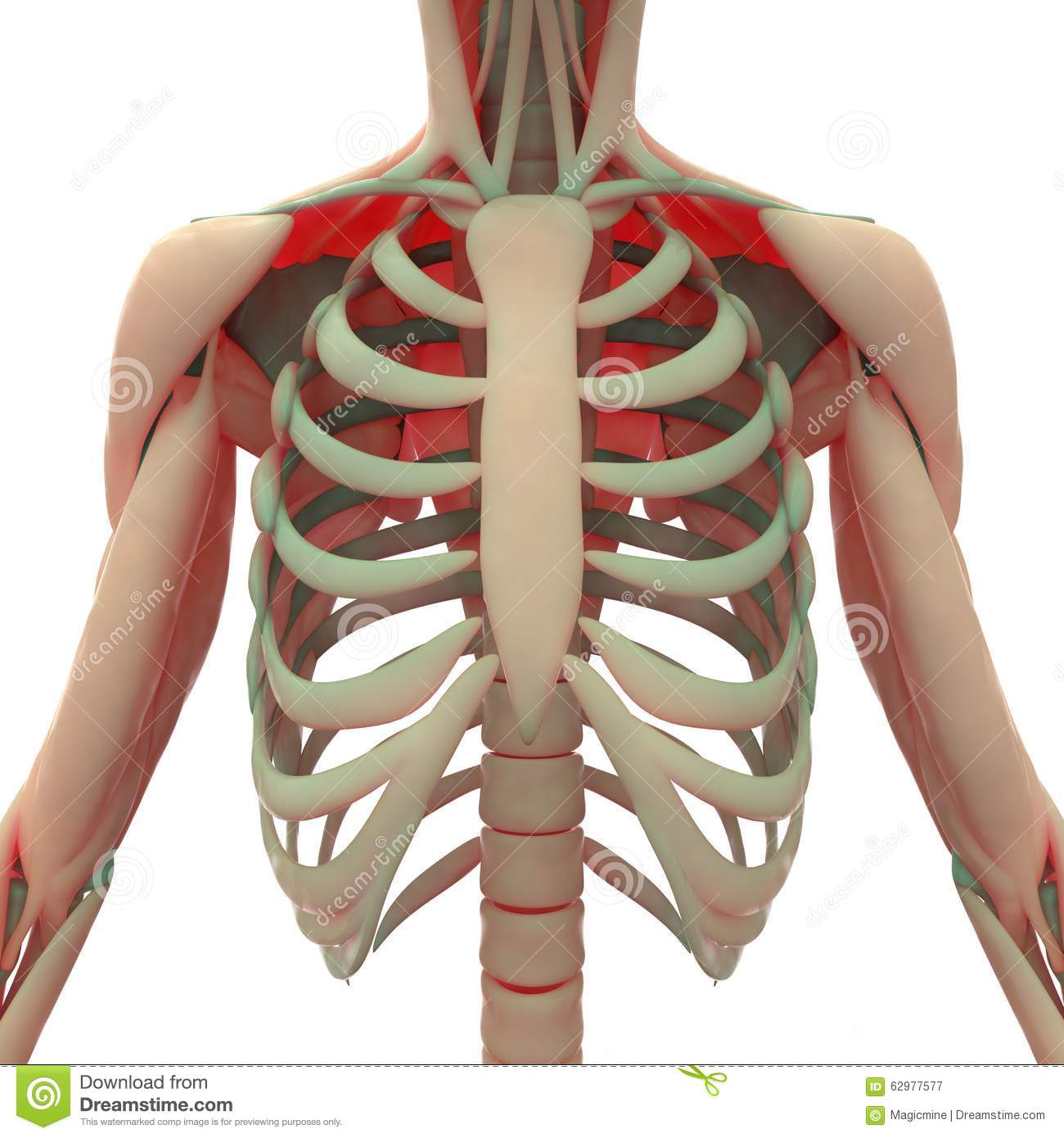Human Scapula With Ribs Stock Illustration Illustration Of Health