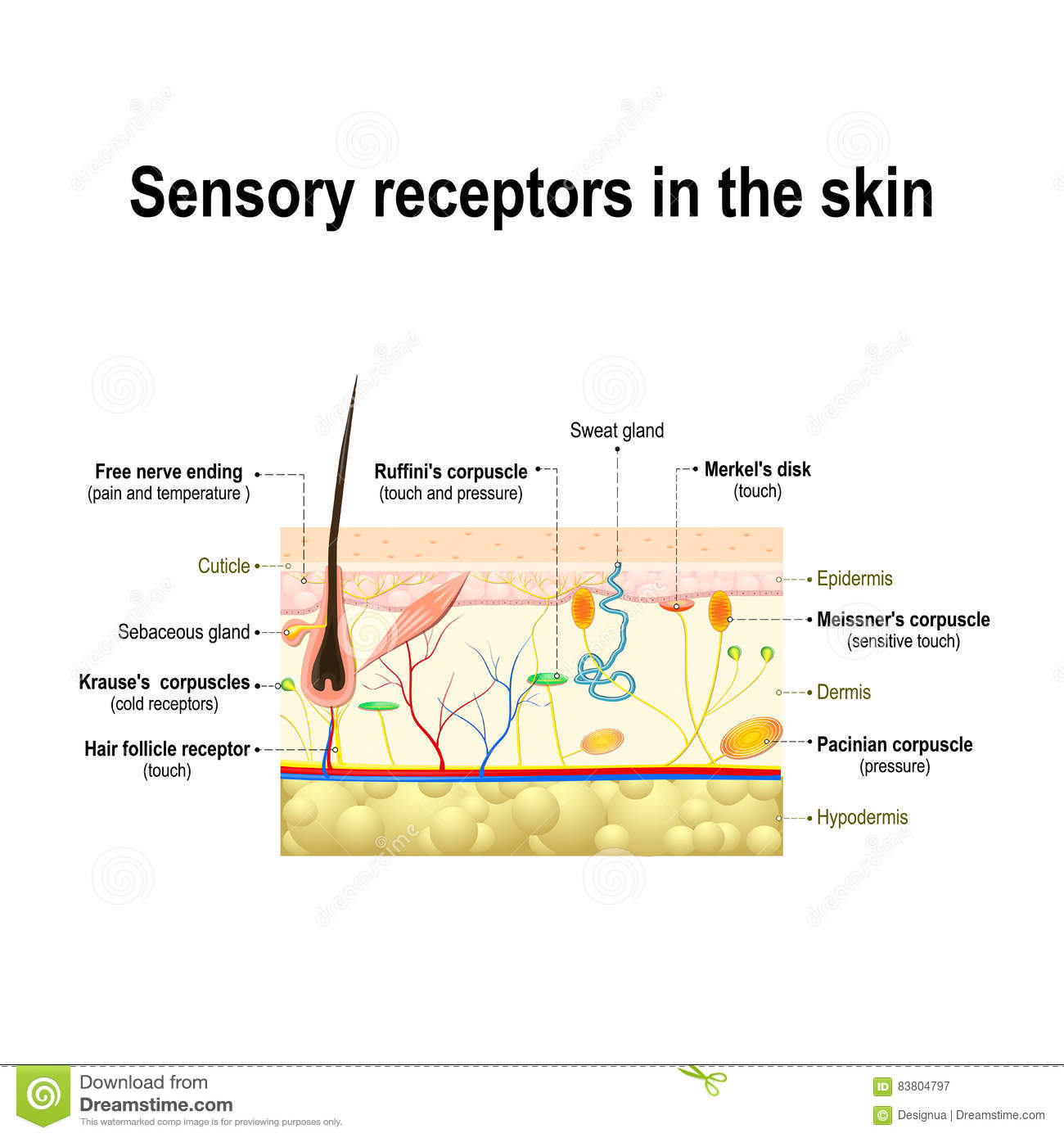 sensory receptors in the skin vector illustration