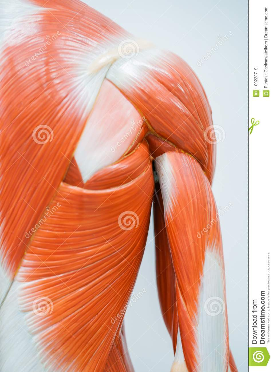 Human shoulder muscle and hand anatomy