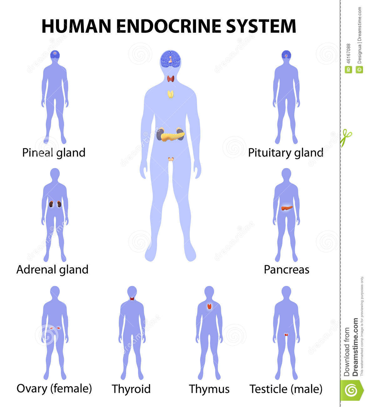 Human Silhouette With Endocrine Glands Icons Set Stock