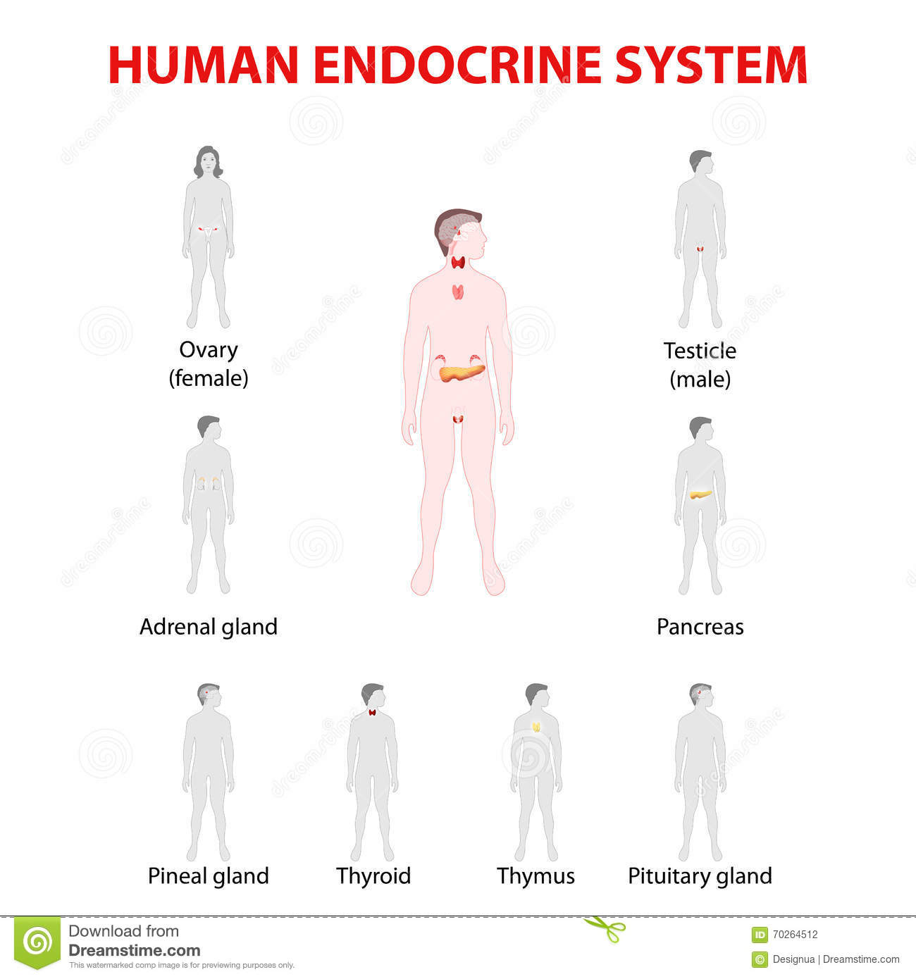 Human Silhouette With Endocrine Glands Icons Set Stock Vector
