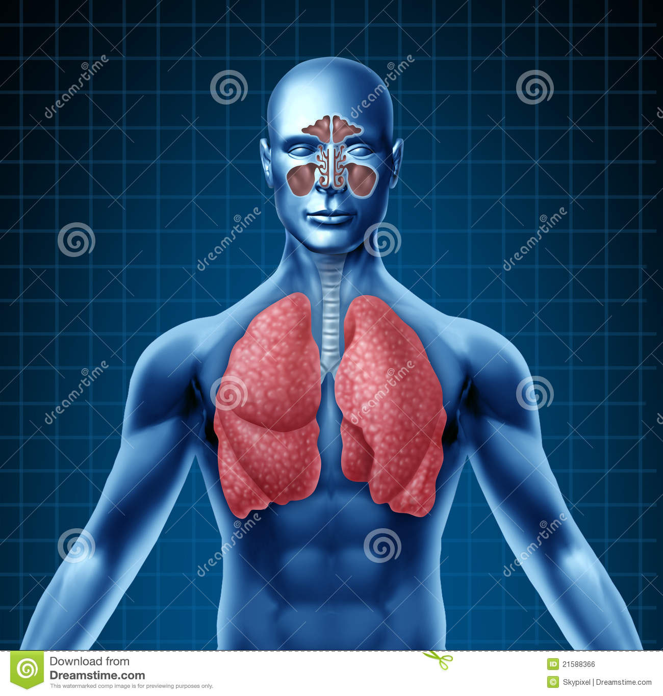Human sinus and respiratory system