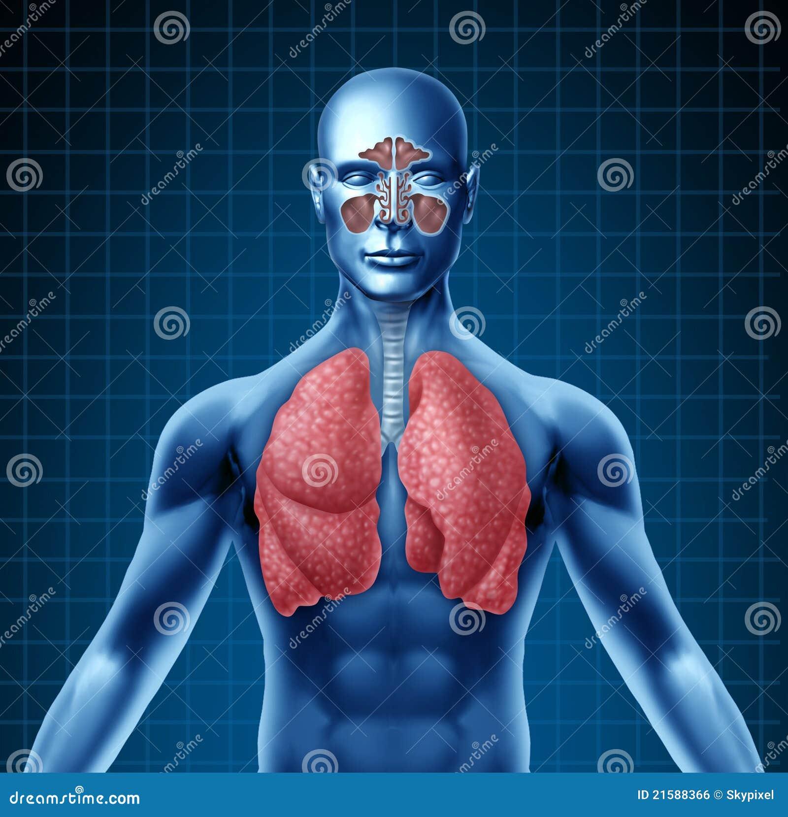 Human Sinus And Respiratory System Stock Illustration Illustration