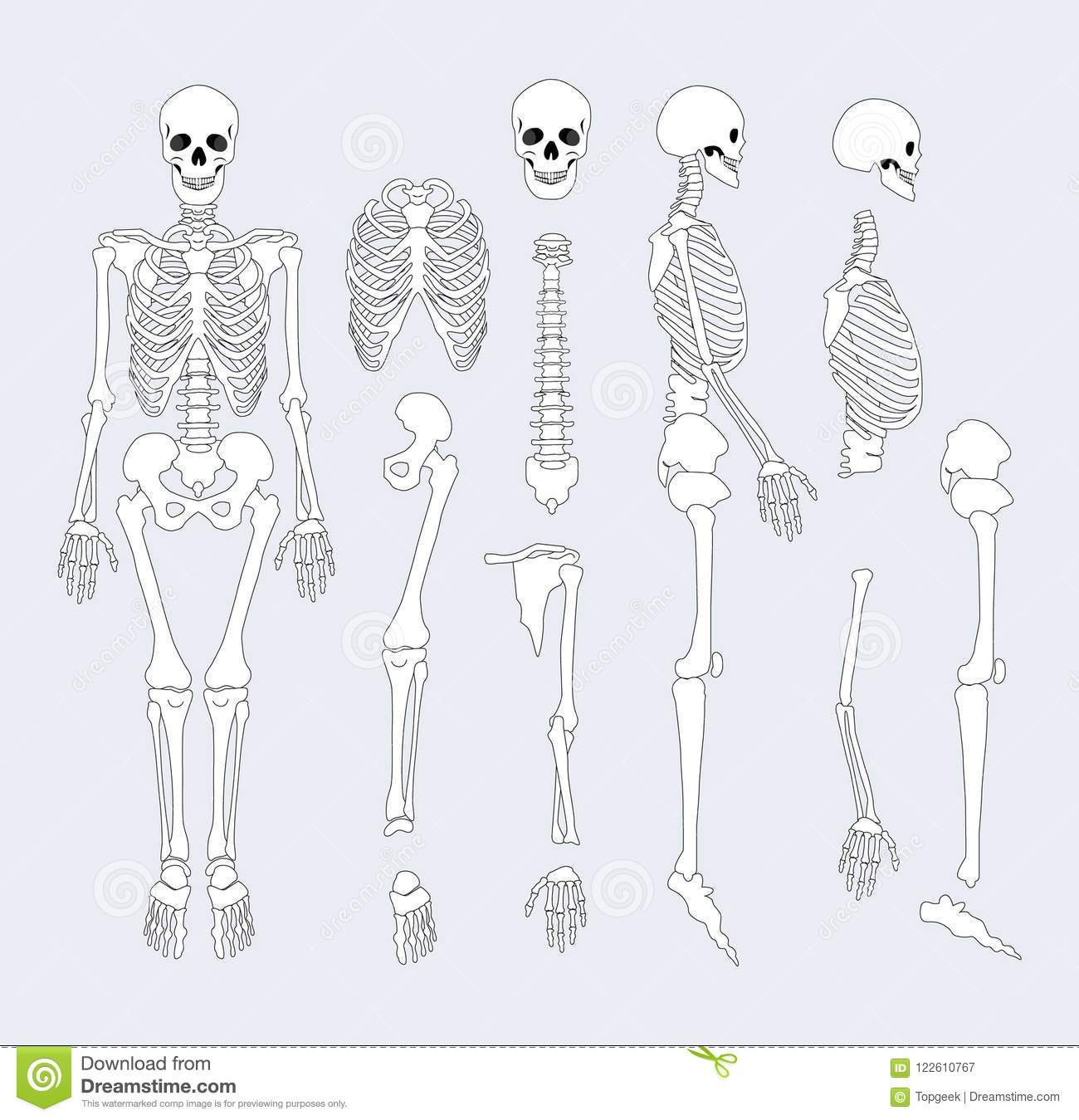 Human Skeletal System Parts Vector Illustration Stock Vector