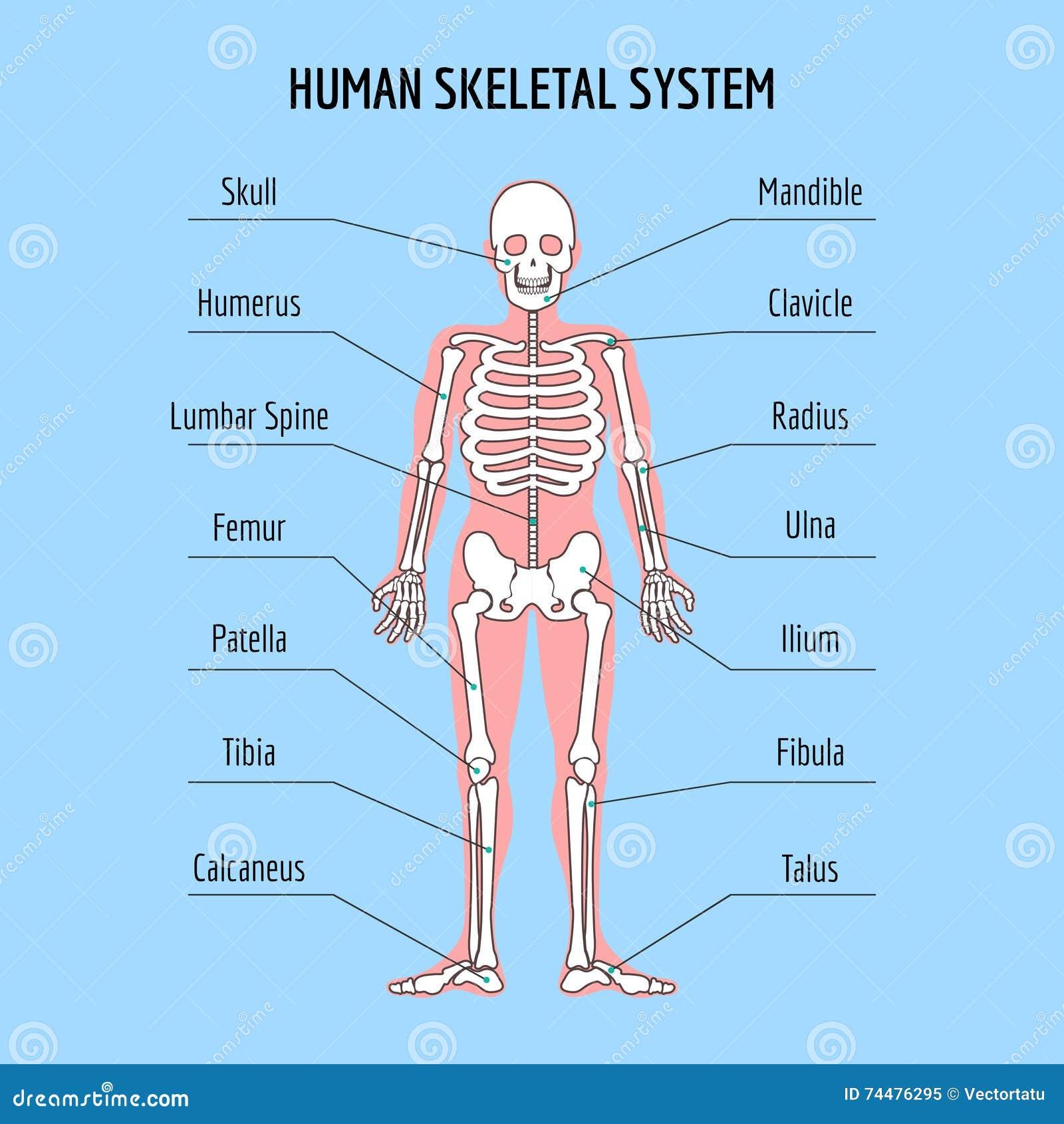 Human Skeletal System Stock Vector Illustration Of Patella 74476295