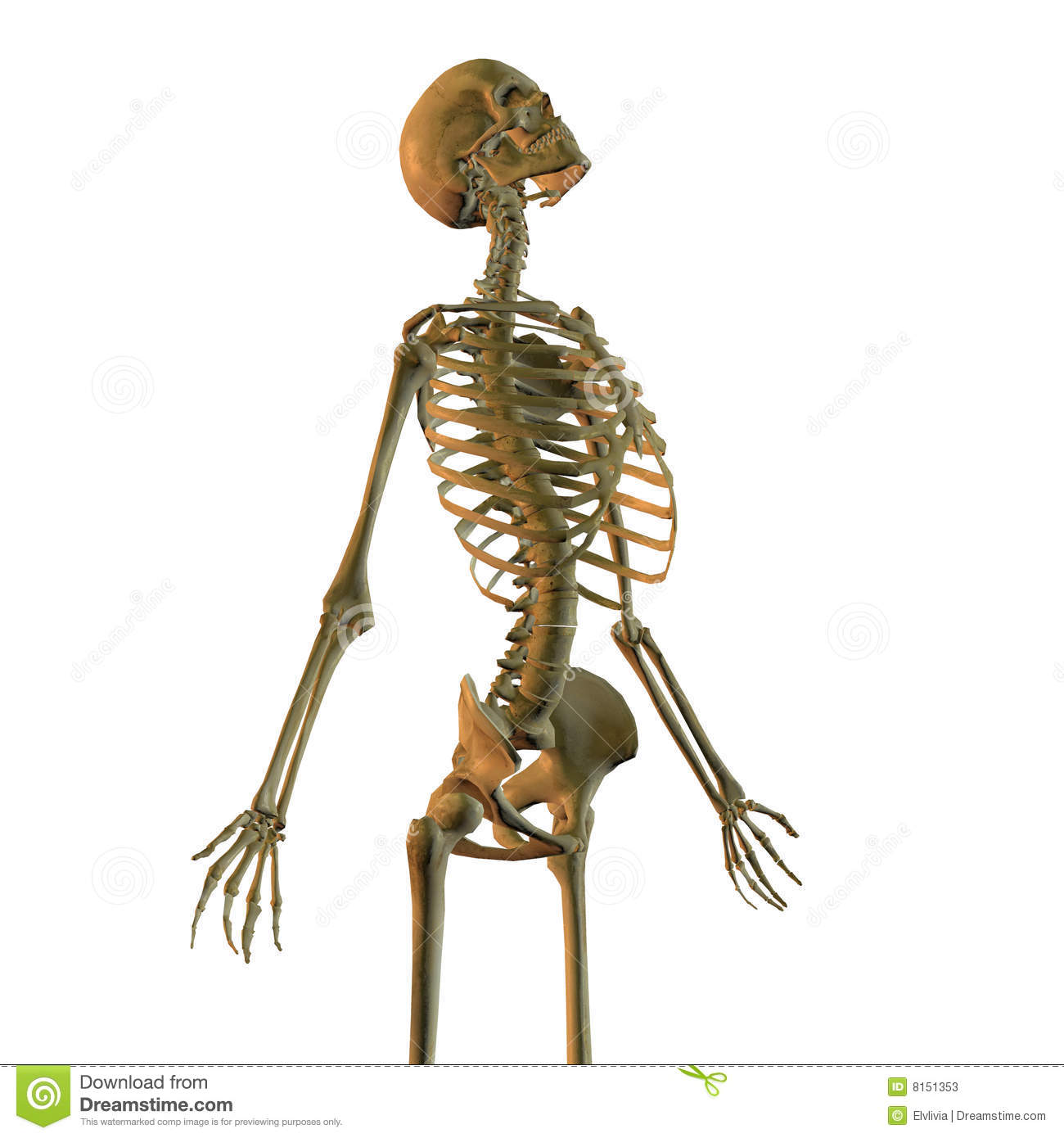 Human Skeleton Stock Illustration Illustration Of Pose 8151353