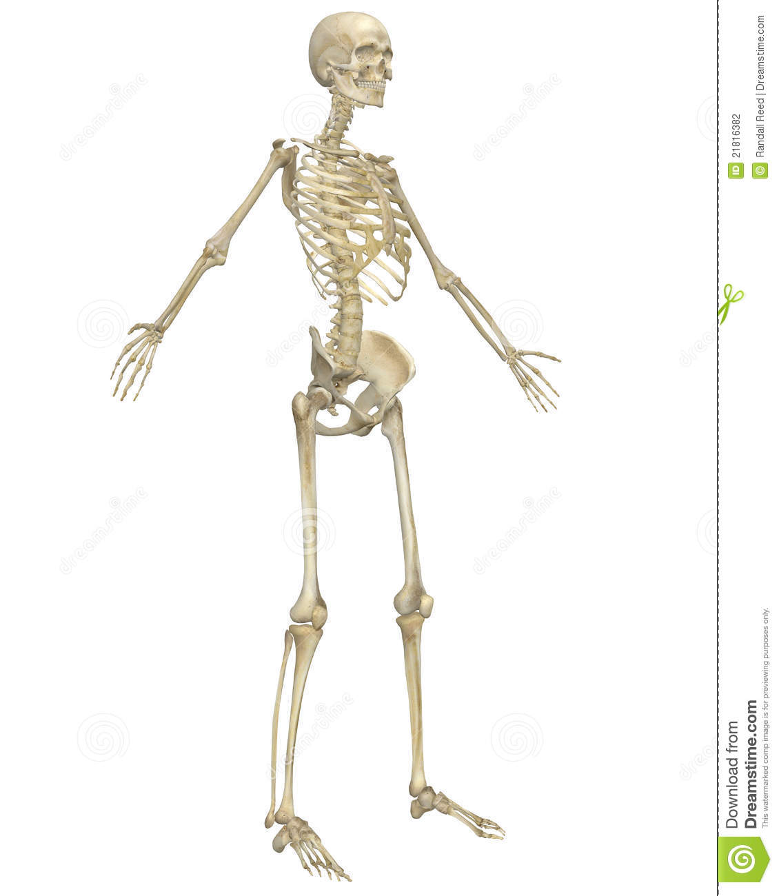 Human Skeleton Anatomy Angled Front View Stock Illustration