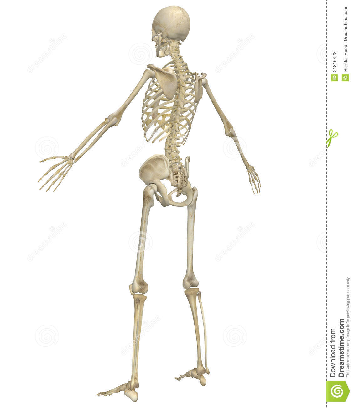 Human skeleton anatomy angled rear view stock illustration download human skeleton anatomy angled rear view stock illustration illustration of femur cranium ccuart Image collections