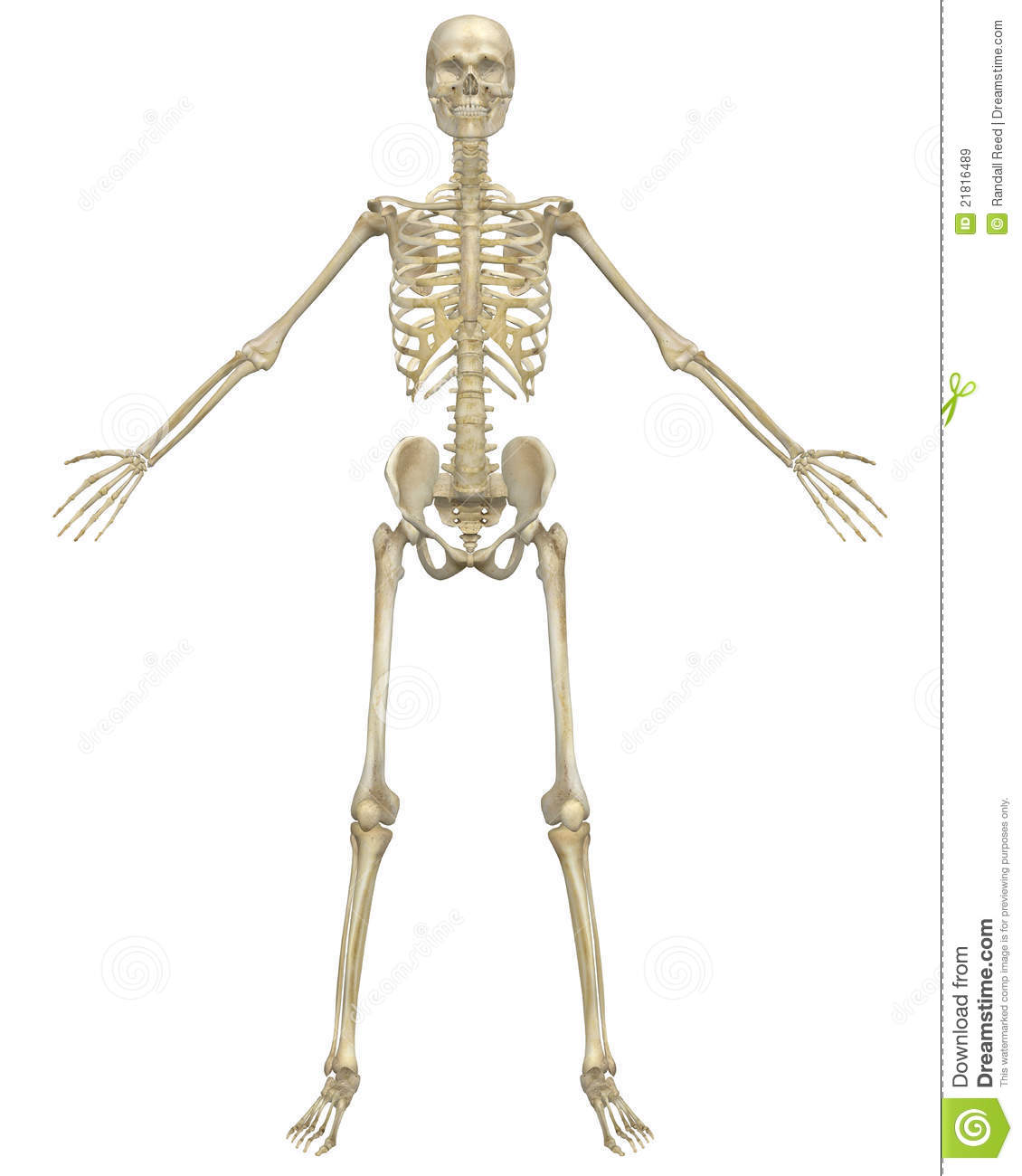 Human Skeleton Anatomy Front View Stock Illustration Illustration