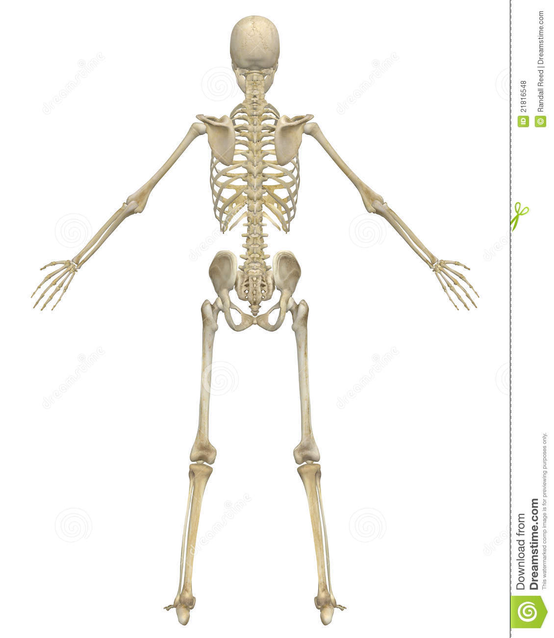 Human Skeleton Anatomy Rear View Stock Illustration Illustration