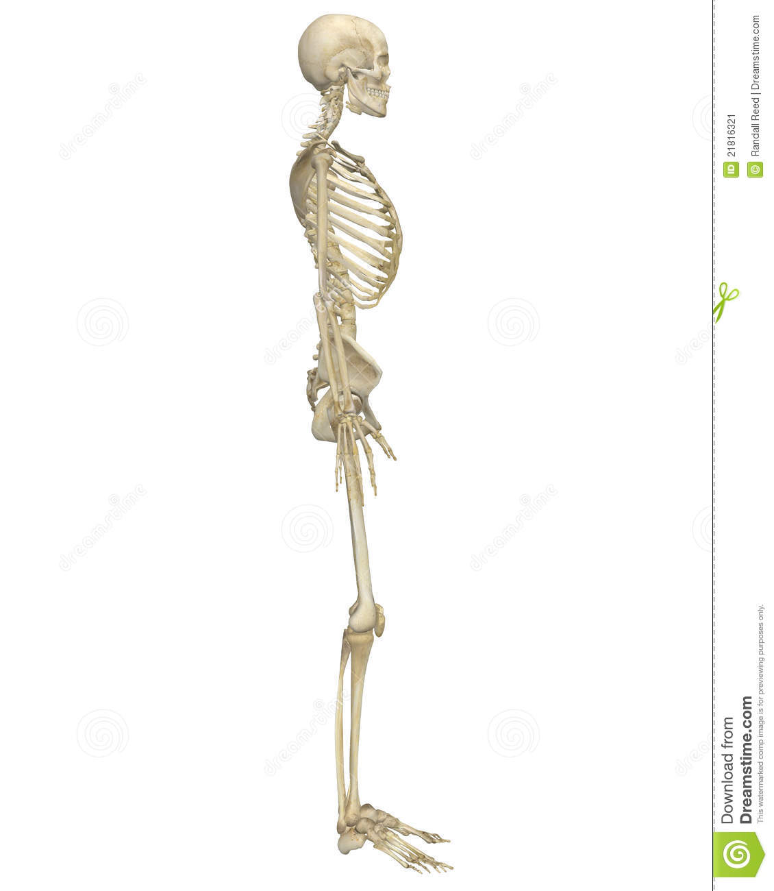 Human Skeleton Anatomy Side View Stock Illustration Illustration