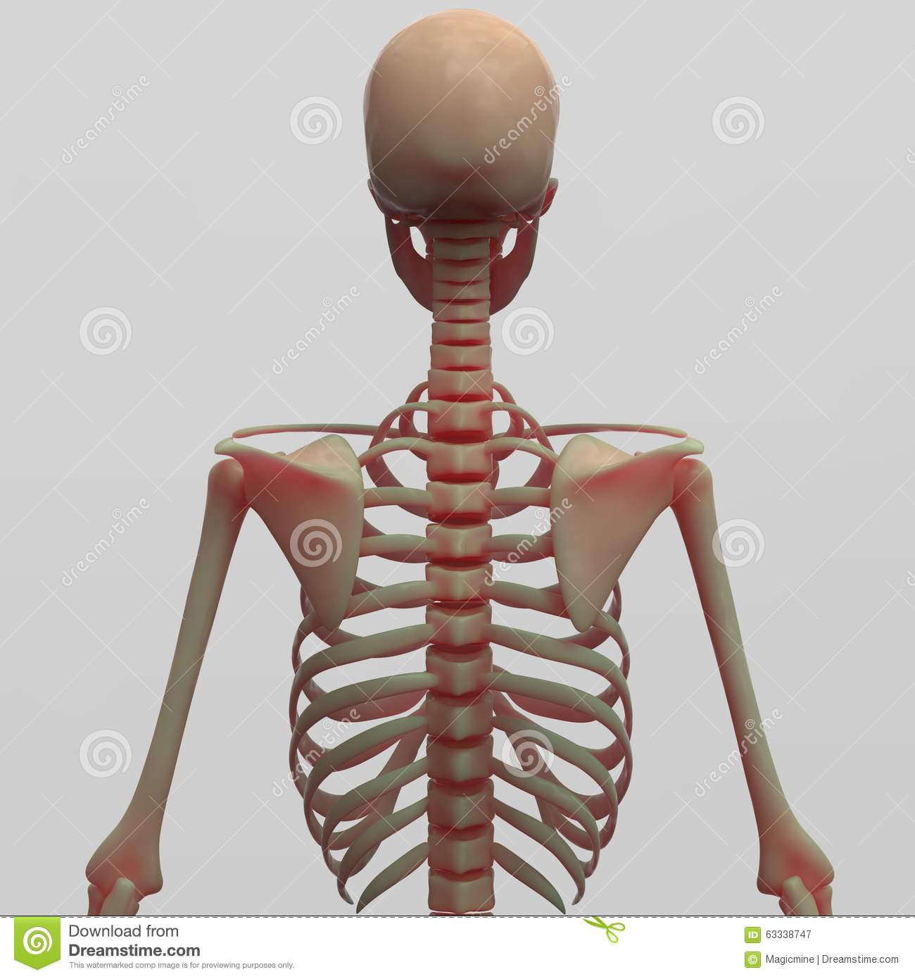 Human Skeleton Back Side View Stock Illustration Illustration Of