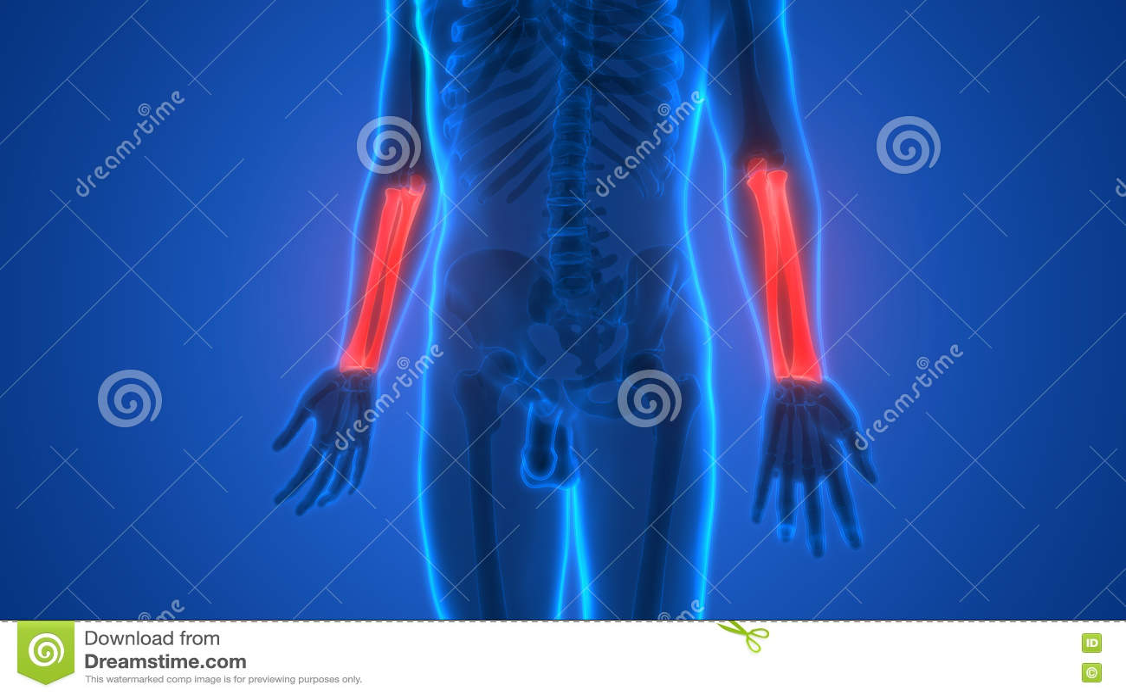 Human Skeleton Bones Anatomy (Radius And Ulna Bones) Stock ...