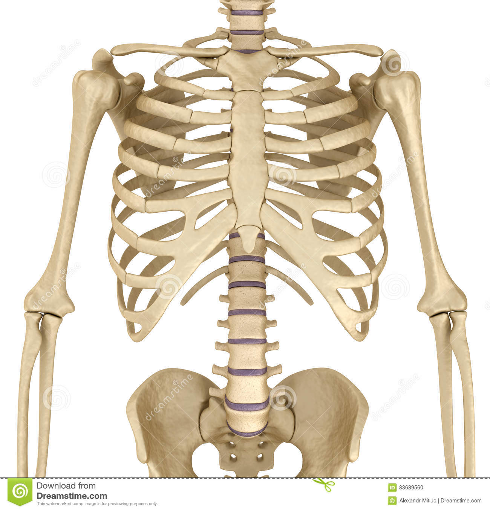 Chest anatomy bones