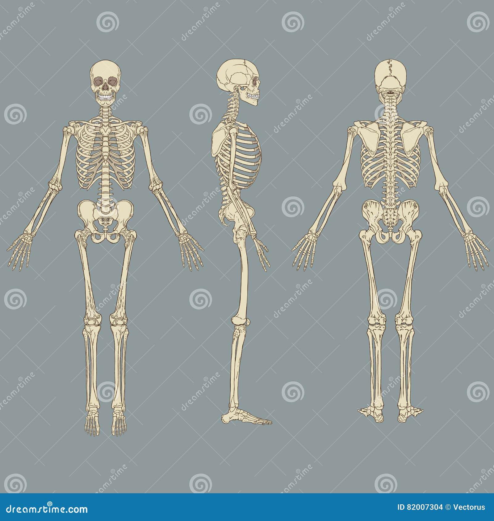 Human Skeleton Chart Vector Stock Vector Illustration Of Organ