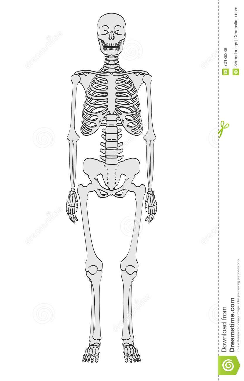 human skeleton stock illustration - image: 70186238, Skeleton