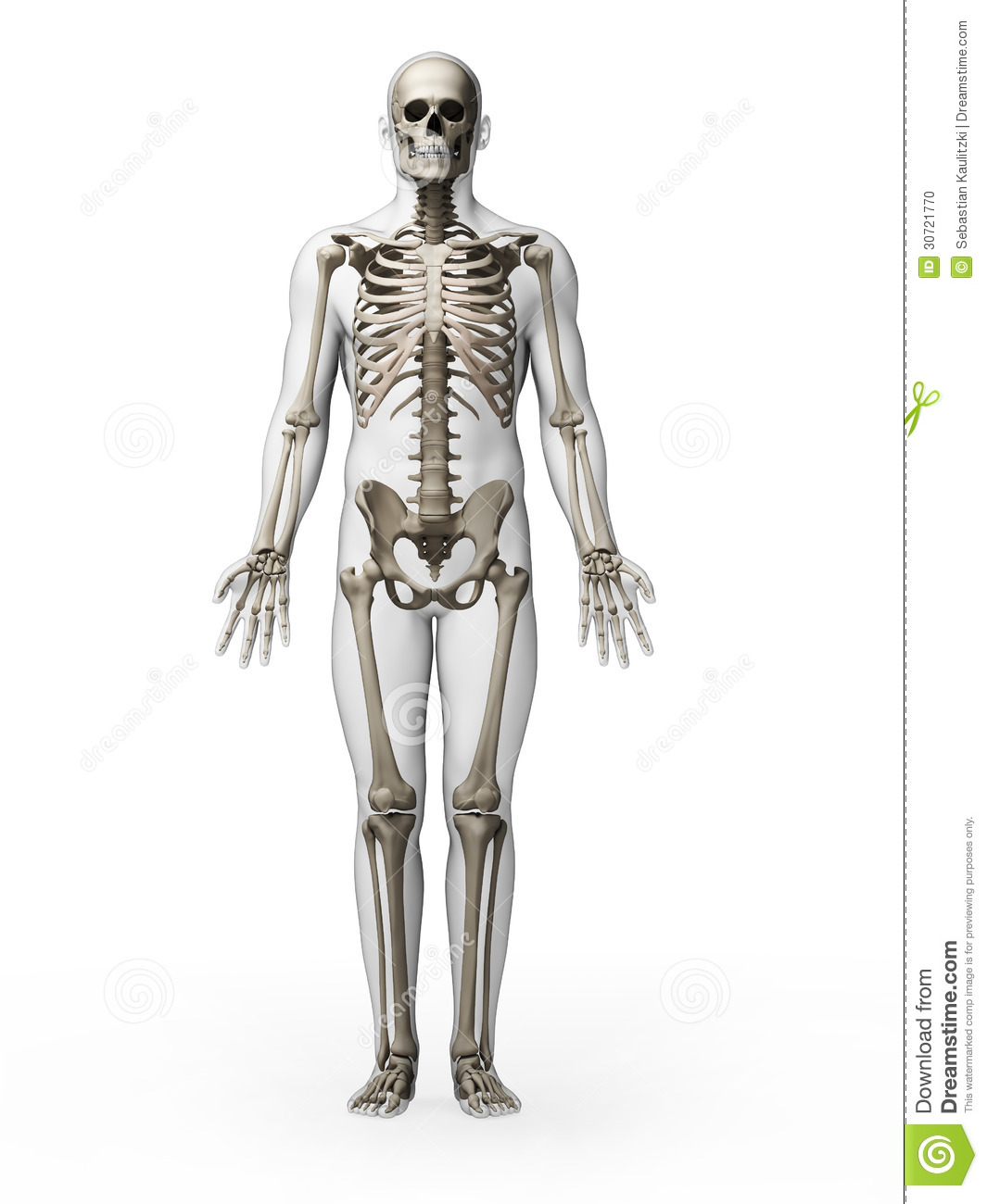 Human Skeleton Stock Photo - Image: 30721770