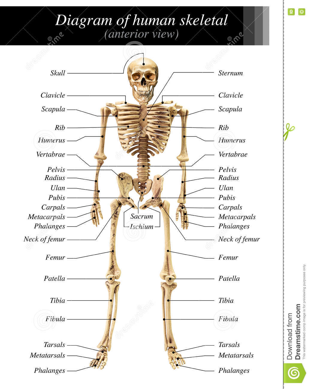 Human skeleton diagram stock image. Image of humerus ...