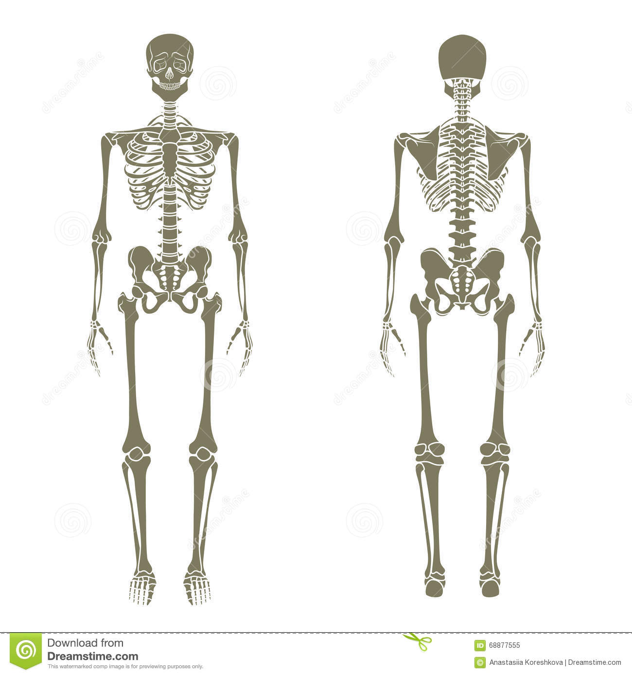 Human Skeleton. Didactic Board Of Anatomy Of Human Bony System. The ...