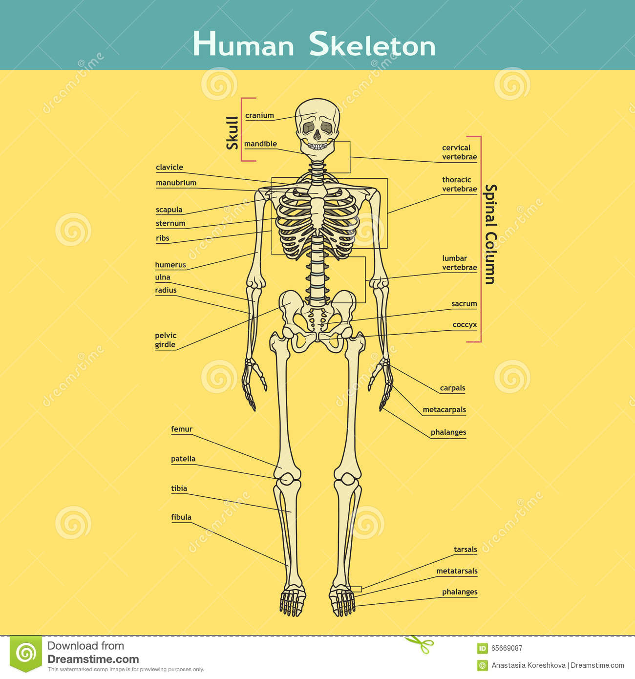 Human Skeleton With Explanations Stock Vector Illustration Of