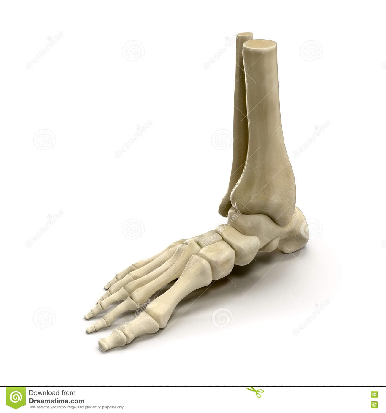 Human Skeleton Foot On White 3d Illustration Stock Illustration