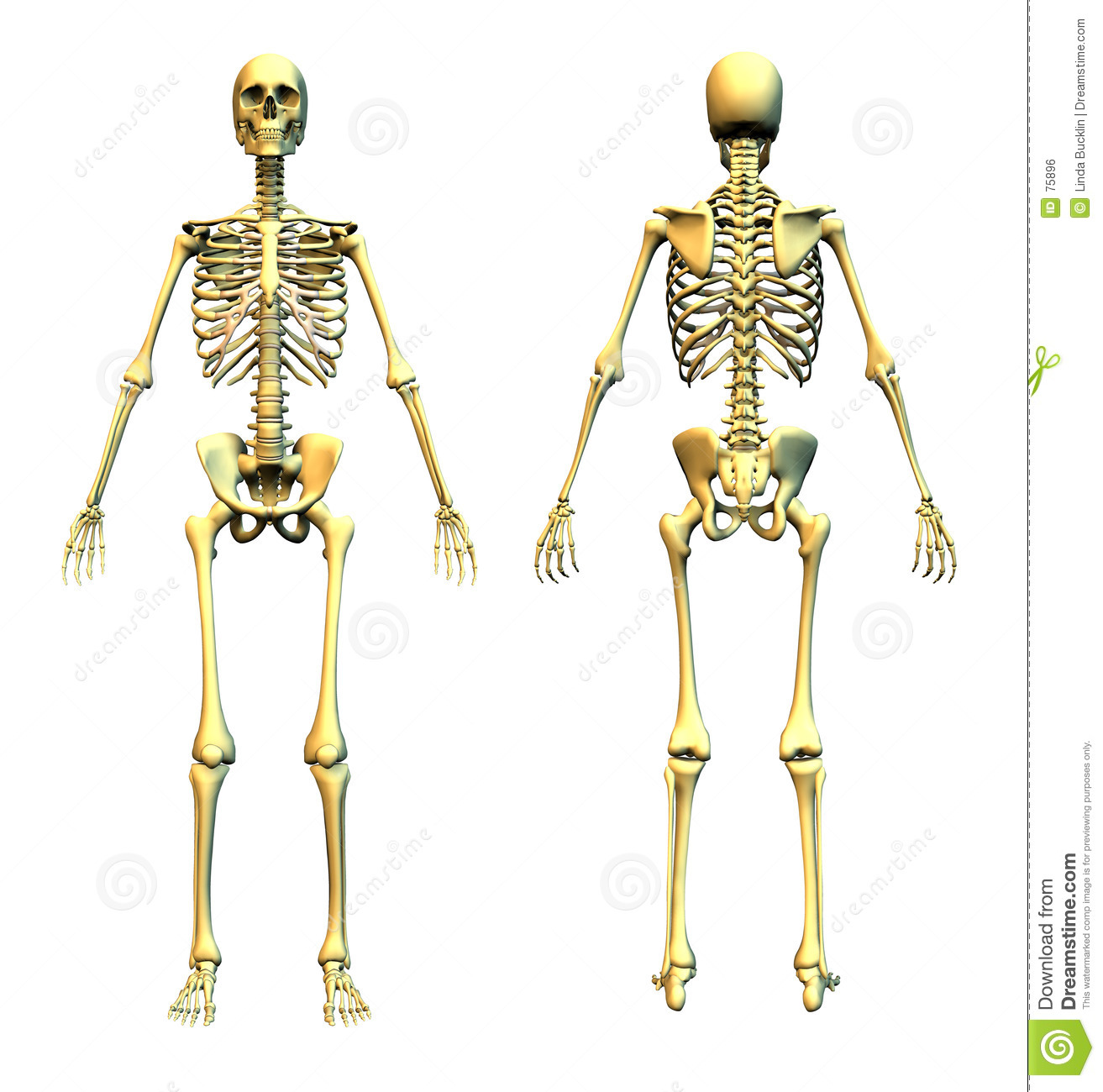 Human Skeleton Front And Back Stock Illustration Illustration Of
