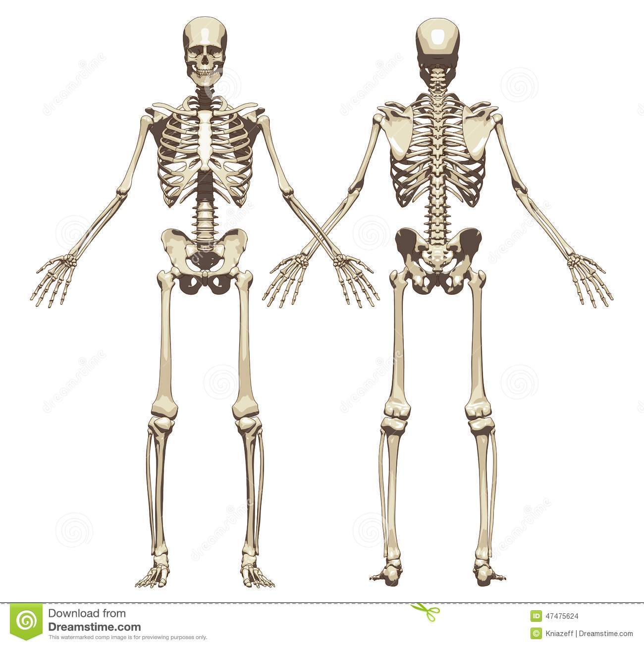 a human skeleton. front and back view stock illustration - image, Skeleton