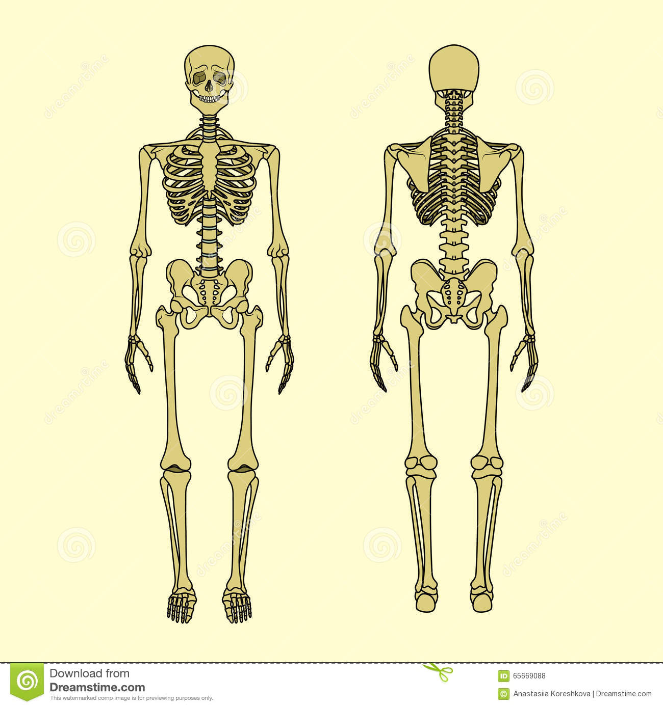Human Skeleton, Front And Rear View. Stock Vector - Illustration of ...