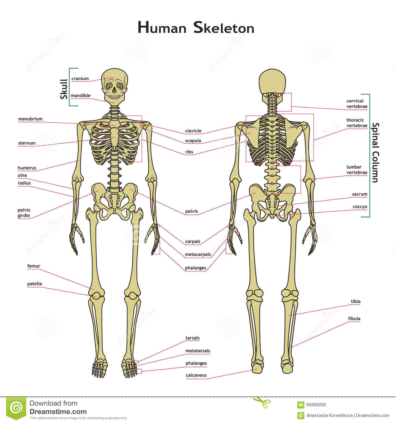 human skeleton, front and rear view with explanatations. stock, Skeleton