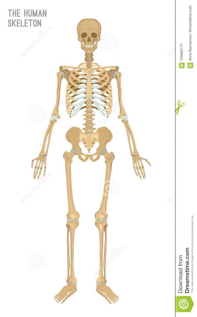 Human Skeleton Image Stock Vector Illustration Of Front 105685177