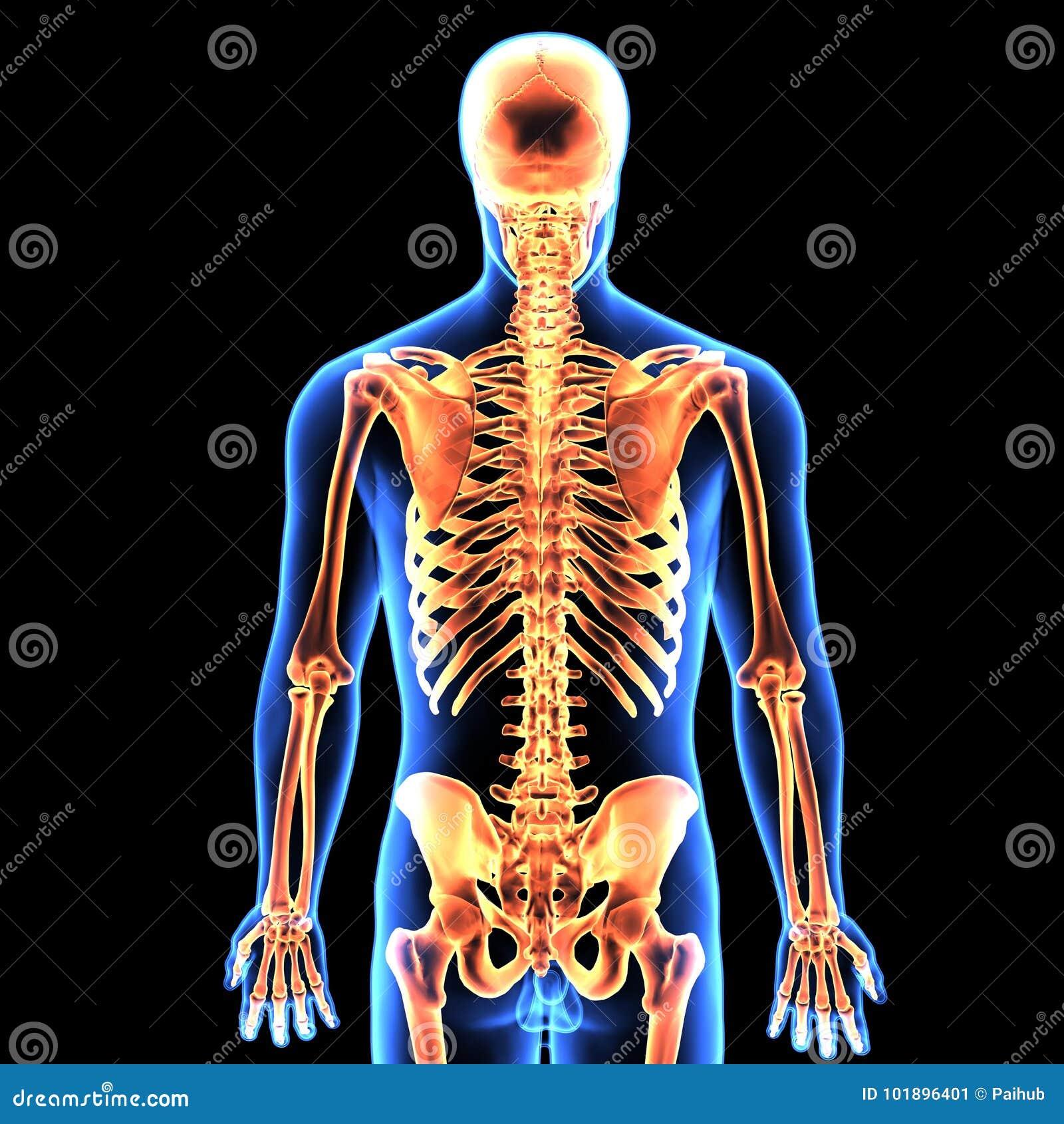 3d Illustration Of Human Body Skeleton Anatomy Stock Illustration
