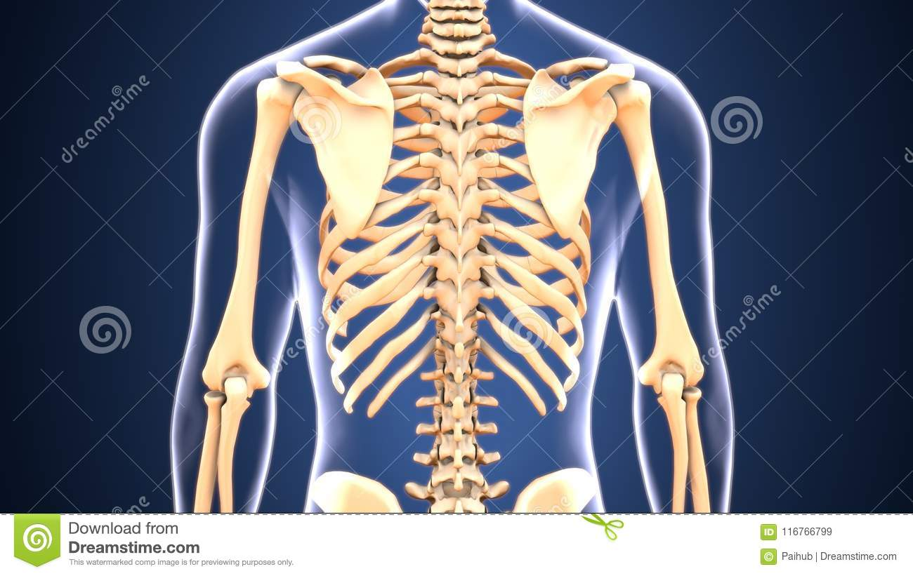 3d Illustration Of Skeleton Back Anatomy Stock Illustration