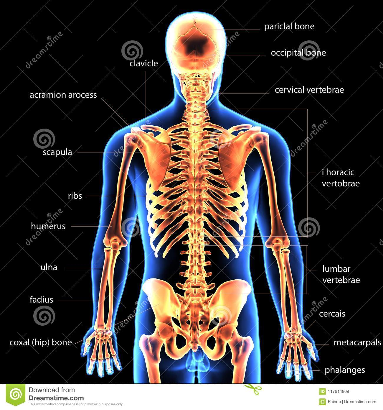 3d Illustration Of Human Body Skeleton Anatomy Stock Illustration ...