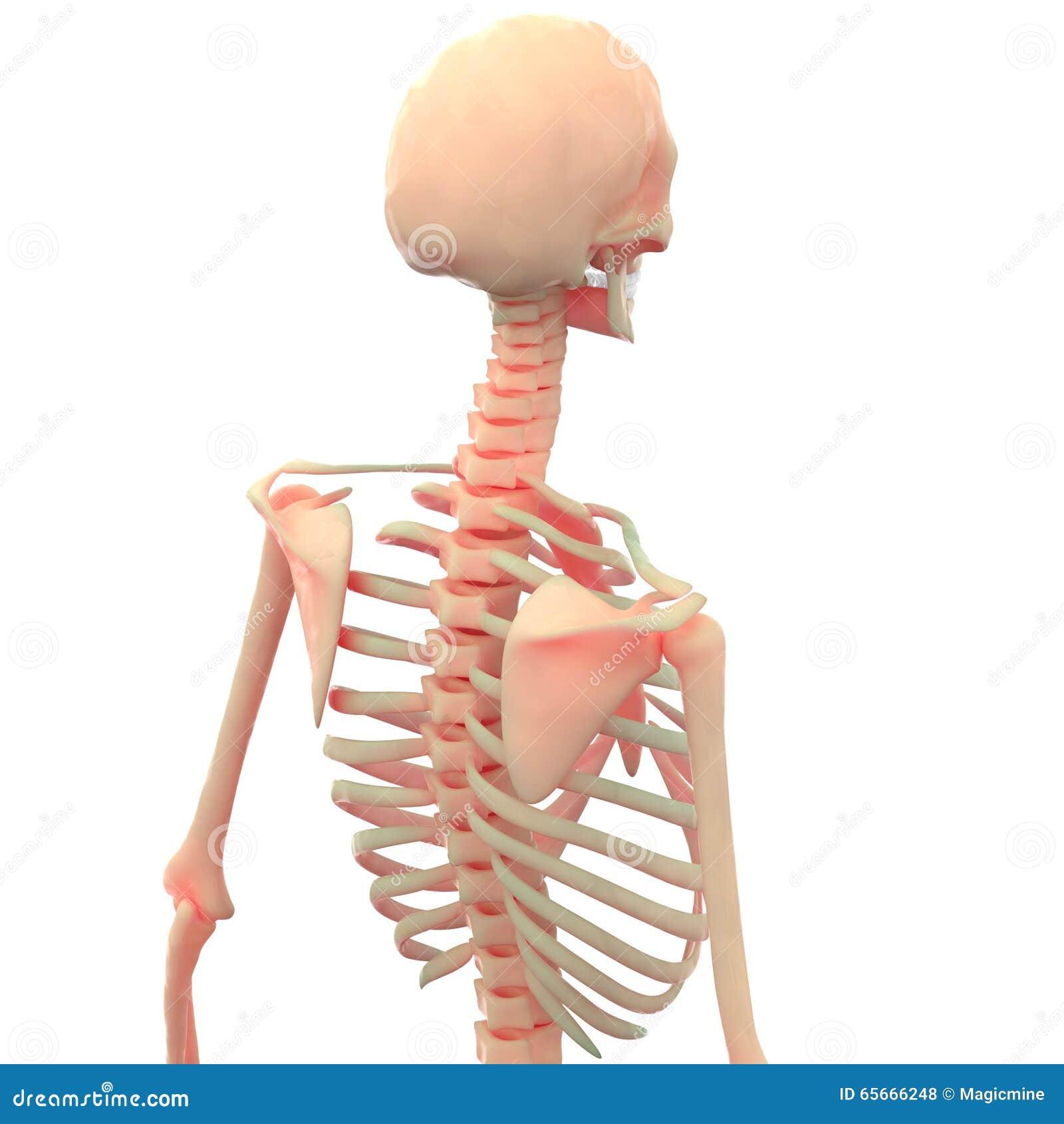 Human Skeleton Joint Pains Stock Illustration Illustration Of